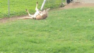Mama kangaroo plays with her baby