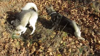 Husky chases dirt throwing by other digging husky
