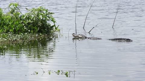 American alligator pops its jaw to make splash