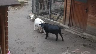 Funny goat is fighting