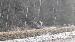 A Bear Hunts a Moose