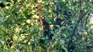 Bear in apple tree with Elk