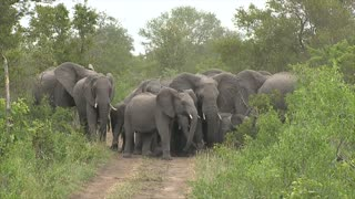 Wild Elephants Protect Young from Wild Dogs