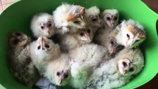 Baby owls rescued after deforestation of their home