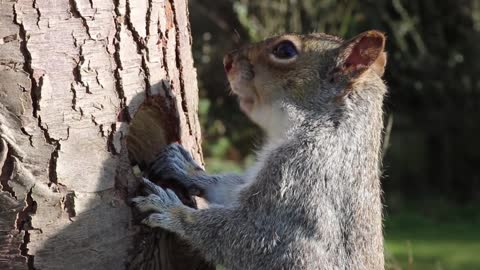 How Squirrel Eating From Tree Trunk ' Incredible '
