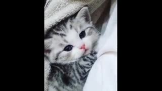 Funny Cat Videos | Cute and Funny Cat Videos Compilation | Munchkin Cat Videos