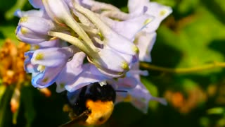 Close-up of a bee sucking nectar from flowers