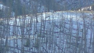 Aggressive Wolf Pack Hunting Elk