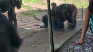 Monkeys Pummel Raccoon That Wandered into Enclosure
