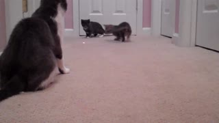 Kittens Introduced to the Laser Pointer