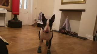 Dougie adorable trying his new boots