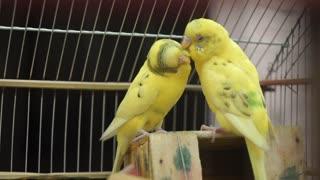 Yellow Birds!!