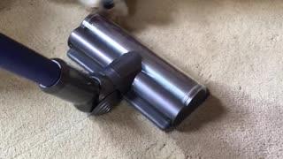 Schnauzer vs Vacuum