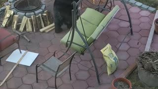 Black Bear Close up in Back Yard