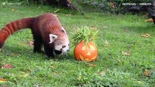 Buh! Estes animais já estão no clima do Halloween