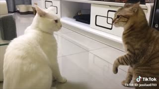 Funny talking cats compilation