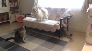 Dog breaks up fight between two cats