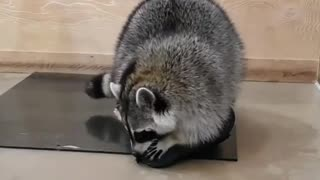Raccoon wasn't happy with this action