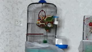 These cute parrots pets live in my house.