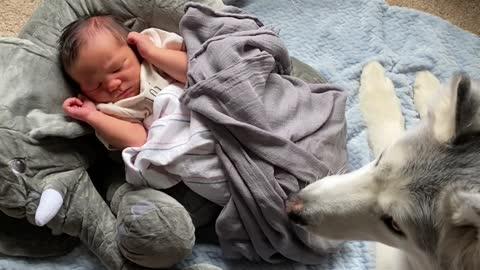 Stubborn Husky refuses to leave newborn baby brother