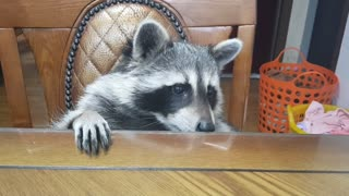Pet raccoon eats strawberry, spits out the stem