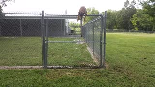 Athletic dog scales large fence with ease