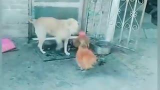 Hen Nd dog