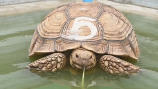 African spurred tortoise eating vegetables in a pond
