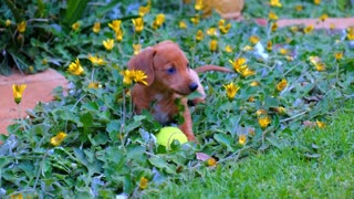 A Person With A Cute Brown Puppy Playing With A Tennis Ball
