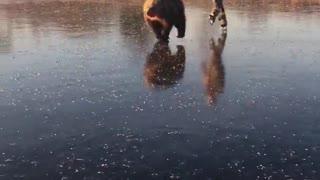 Bear Powered Ice Skating