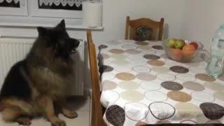 German Shepherd Dog Wants Some Apples