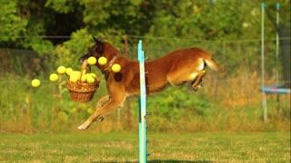 Dog Balls Basket Border Collie Jumping Enjoyment