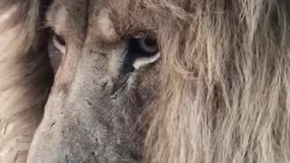 Close-Up Footage Shows Sleepy Lion Enjoying The Summer Breeze