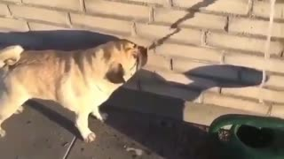 Dog is drinking fake water from the wall