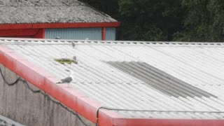 Baby seagulls find their feet