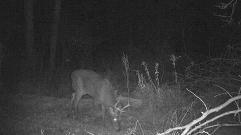 7 point buck grazing and has a buddy lurking in the background