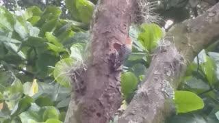 pájaro carpintero trabajando