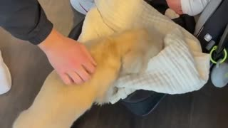 Little puppy Golden Retriever plays with baby - so cute