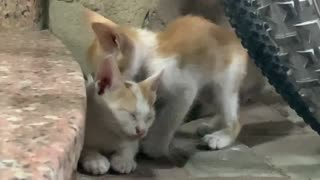 Sleepy Cute Kitten
