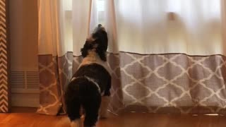 """Howling dog pulls off the perfect """"awooo"""""""