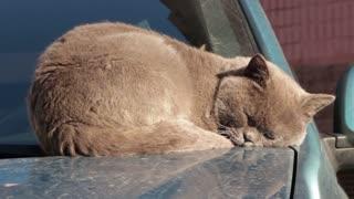 Brown Sunny Cat Sleep On Car