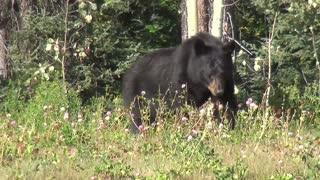 Black Bear Free