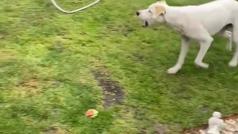 Pup runs in circles trying to catch water from the sprinkler