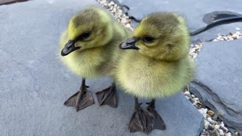 Baby Geese Siblings