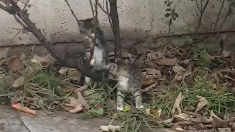 😻 2 baby Tiger kittens playing and climbing up mini tree