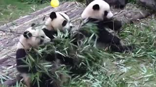 Happy moments for pandas