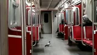 Pigeon walking around inside empty train