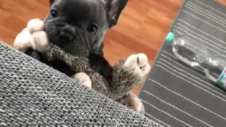 Adorable Puppy Is Upset He's Too Small To Jump On Couch