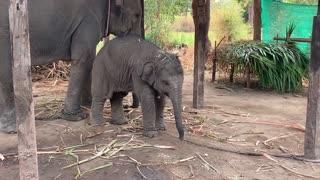 sleep 'ไม่ไหวอย่าฝืน' เมื่อพลายเลิฟง่วงนอน baby elephant