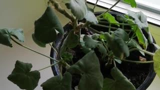 Very beautiful geranium.